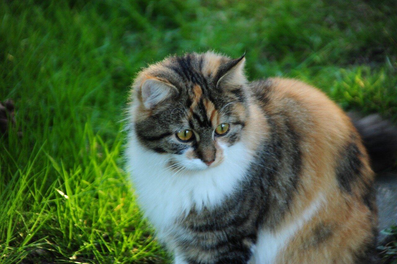 Jaka jest największa rasa kota?